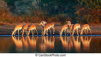 Impala herd with reflections in water - Impala herd...