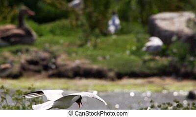 common black-headed gull in sweden