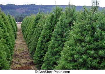 Oregon Christmas Tree Farm - A Huge Oregon Christmas Tree...