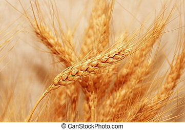 Golden wheat ears with shallow depth of field