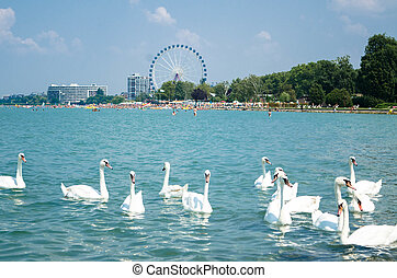 Swan flock on the Balaton lake in Siofok with Ferris wheel...
