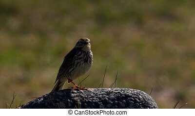 Meadow Pipit in Norway