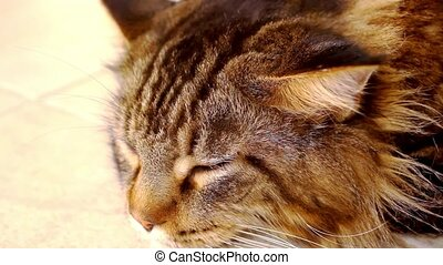 Maine Coon black tabby cat with green eye lying on the floor...