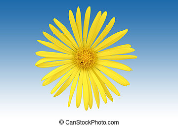Isolated Ox-eye flower - The top view of an isolated yellow...