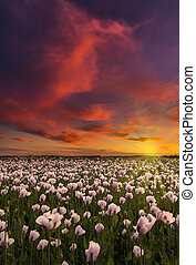 Thousands of white poppies under red skies - As the sun goes...
