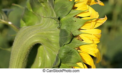 Sunflower - The Side Of The Inflorescence Of Sunflower