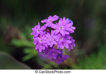 Moss Verbena - Close up shot of Moss verbosa flower against...