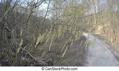 hazel catkin bloom brook - Hazel catkins tails tree blooms...
