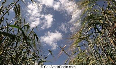 rye swing in wind summer - ripe rye swing in wind on blue...