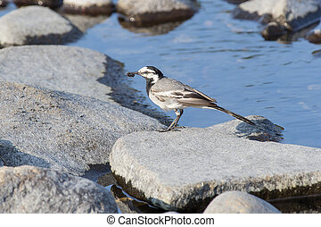 wagtail - Wagtail is holding in its beak caught ant