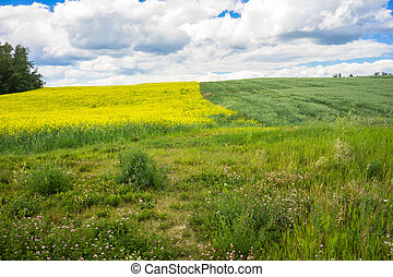 Two Growing Fields -Canola and Oats - Two fields of cash...