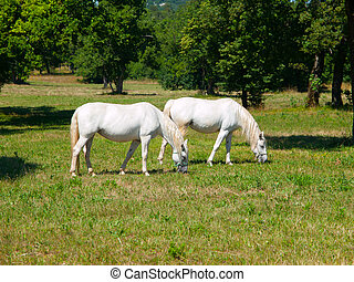 Lipizzaner horses - Two lipizzaner horses grazing on a green...