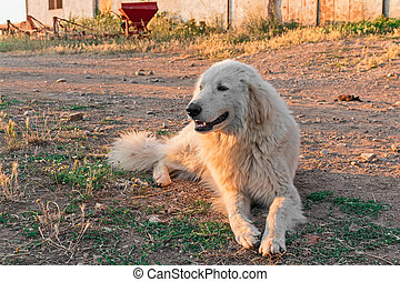 Maremma Sheepdog - alone Maremma Sheepdog in outdoor