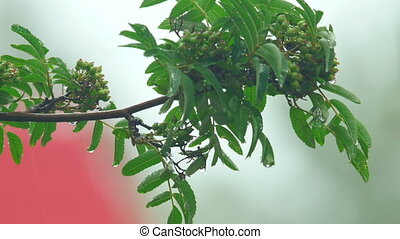 After summer rain - Wet branch of a mountain ash with drops...