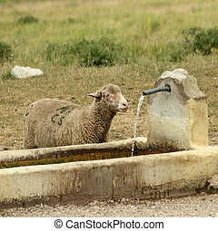 sheep drinking water from a mountain tap , Campo Imperatore,...
