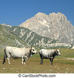 cows on meadows of Campo Imperatore plateau and Gran Sasso...