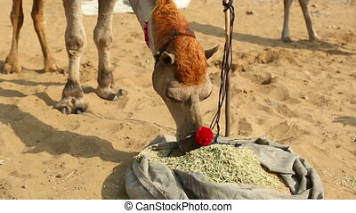 The decorated camel eats milled straw. Pushkar camel fair,...