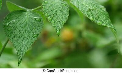 Summer rain - Stems, leaves and raspberries in the summer...