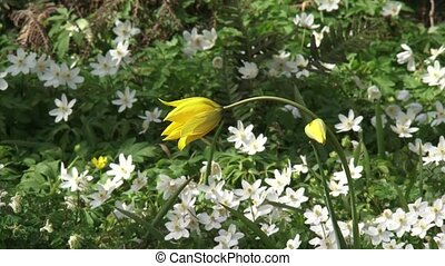 Florentine Tulip in bloom Tulipa sylvestris , wood anemones...
