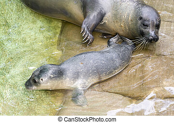 Newborn harbour seal Phoca vitulina - Harbour seal Phoca...