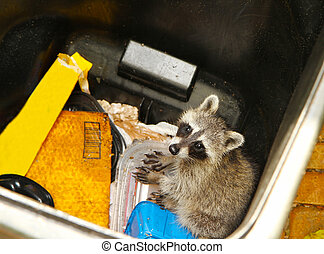 Young raccoon stuck in a garbage - Looking down at a young...