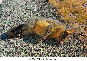 Common brushtail possum, Dead. - Common brushtail possum,...