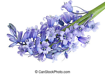 Bluebell Flower - Bundle of Hyacinthoides non-scripta...