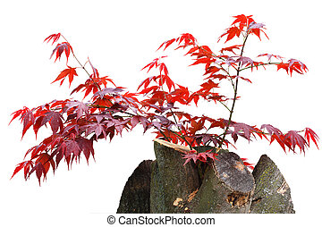 Maple Tree Stump - Young red maple leaves on branch growing...