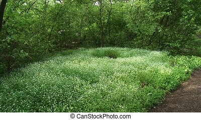 Carpet of blooming Stellaria nemorum - Wood stitchwort in...