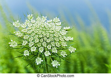 wild carrot flower closeup, an umbelliferous plant