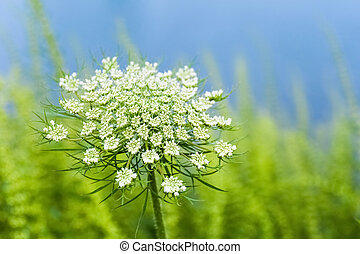 queen annes lace - wild carrot flower closeup, an...