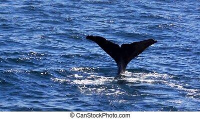 male sperm whale in norway
