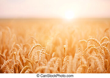 Wheat field  - Vivid wheat field with beautiful sun-flare