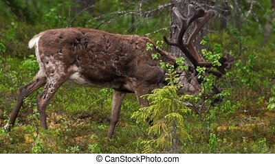 reindeer in swedish lapland