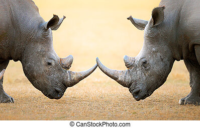 White Rhinoceros head to head - White Rhinoceros...