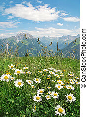 Camomile flowers and mountain landscape