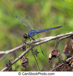 Blue dragonfly that is on top of some dead brush