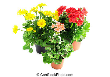 red and beige genranium and yellow aster daisy Leopards Bane...