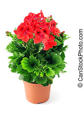 potted red Geranium on white background