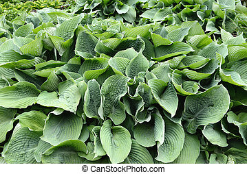 green hostas plant in a park