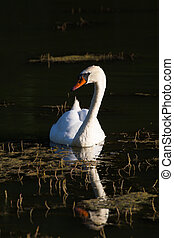 White swan floating on the dark surface of the pond....