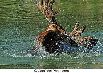 Elk Forest - Elk bathed in a forest lake in summer
