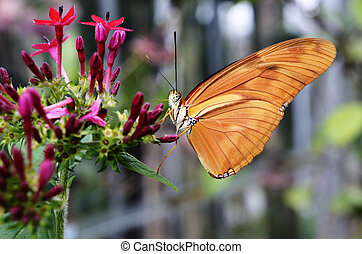 butterfly Dryas Julia on a flower in the sunlight