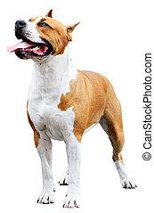 Staffordshire Bull Terrier over white - Pedigree...