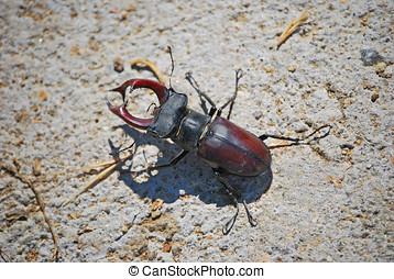 Lucanus cervus - Lucanus Cervus. Stag beetle. Big insect