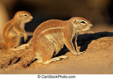 Ground squirrels (Xerus inaurus) in late afternoon light,...