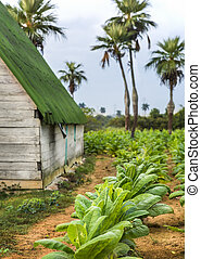 Tobacco plantation...Pinar del Rio, Cuba - This is a corner...