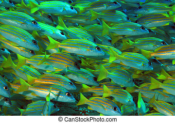 School of Bluestripe Snappers Lutjanus Kasmira, aka...