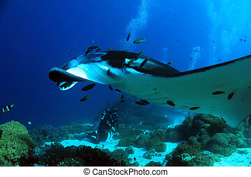 Manta Ray Manta Birostris Approaching Closely, with Diver in...
