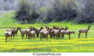 Rocky Mountain Elk - rocky mountain elk feed in a meadow...